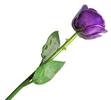 Preserved Purple Rose with Green Stem (Real Rose!)